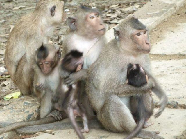 Các mẹ khỉ ôm con bên vệ đường