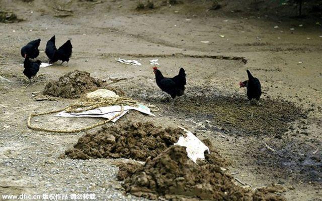 Gà đang kiếm ăn không biết rằng chúng đang bị giám sát chặt chẽ phục vụ nghiên cứu động đất