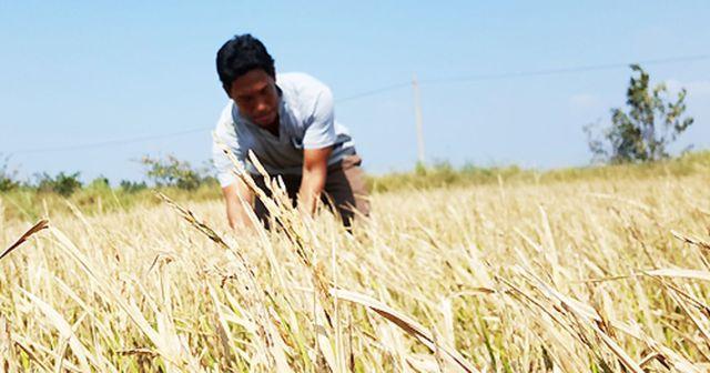 Hạn hán, xâm nhập mặn nghiêm trọng ở miền Tây làm hàng trăm nghìn ha lúa bị thiệt hại. Chuyên gia xác định ngoài biến đổn khí hậu, các đập thủy điện ở Trung Quốc, Lào, Campuchia không thể ngoài cuộc. Ảnh: Cửu Long